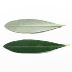 シプレッシーノの葉