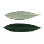 コロネイキの葉
