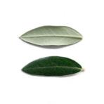 レッチーノの葉