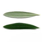 ネバディロブランコの葉